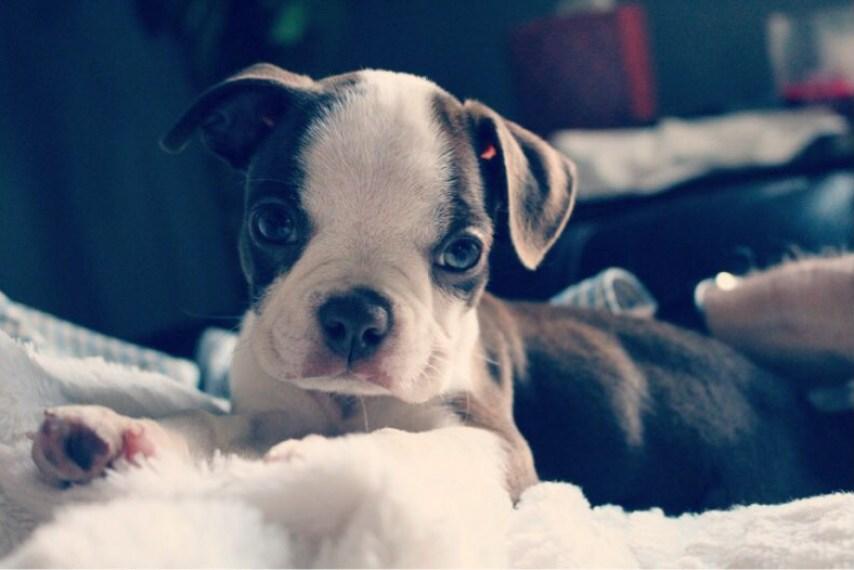 perro boston terrier para convivir con niños. Razas pequeñas