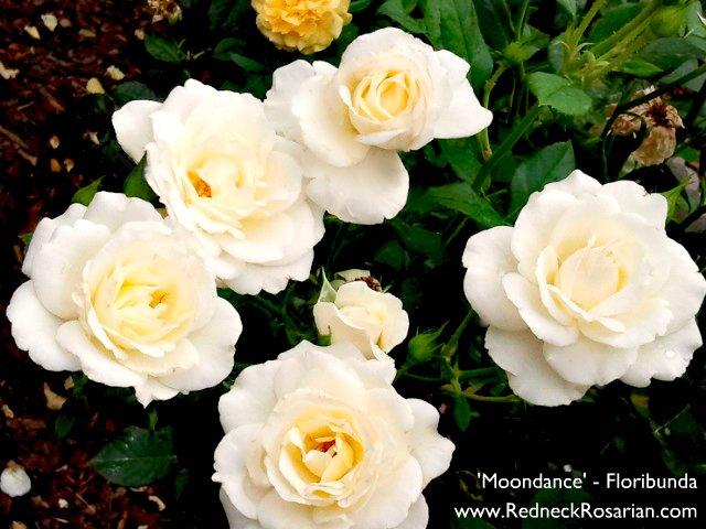 Grow Floribundas For Maximum Bloom Impact (2/4)