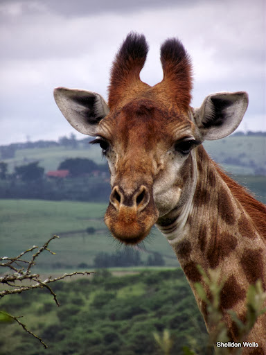 a young male giraffe posing for pictures.