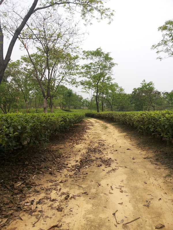 tea plantations nit silchar assam