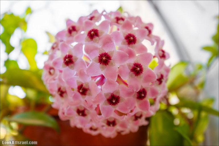 Цветет Хойа   LookAtIsrael.com - Фото путешествия по Израилю и не только...