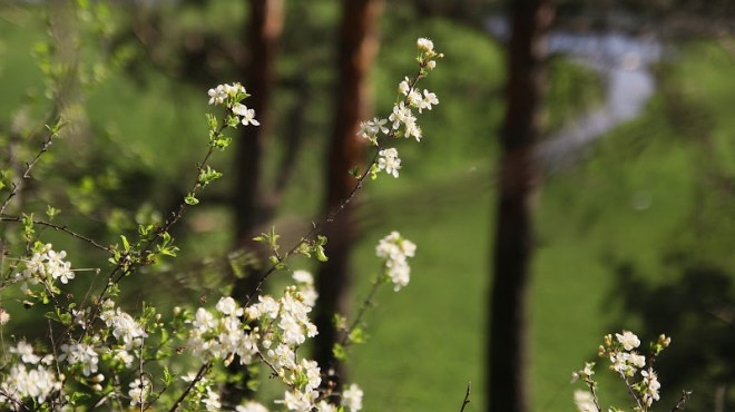 степова вишня
