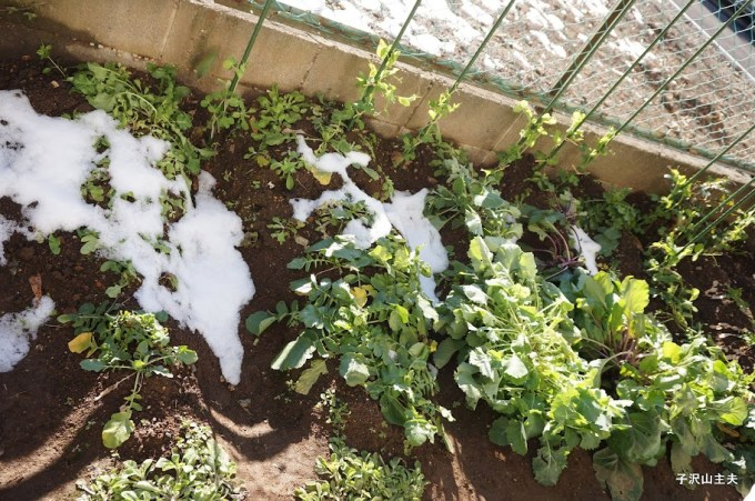 1月18日の雪でぐったりした畑
