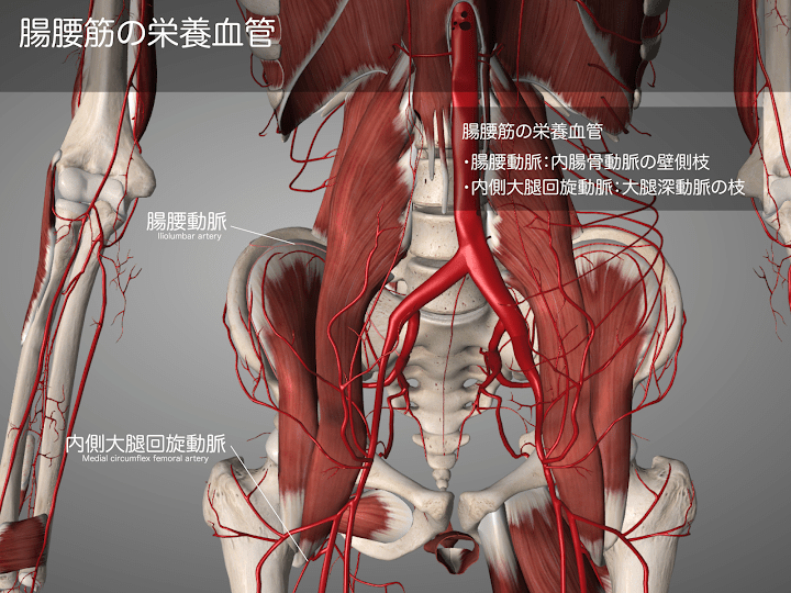 2014-28a_01_腸腰筋の栄養血管.png