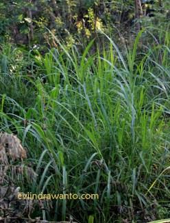 rumput alang-alang