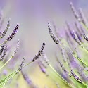 Lavendar Field_Patricia Kendrick.jpg