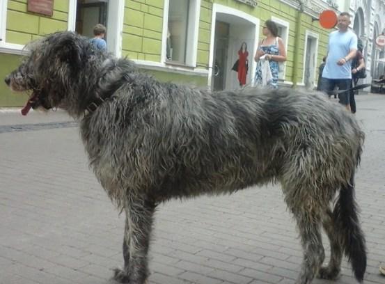 Собаки старого Вильнюса