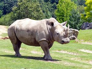(267)rhinoceros-zoo-parc-beauval-st-aignan©ADT41-acarnat