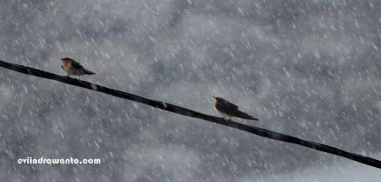 burung pipit dan hujan