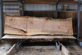 "564  Hard Maple Curly Burly -8 10/4 x  39"" x  31"" Wide x  11'  Long"