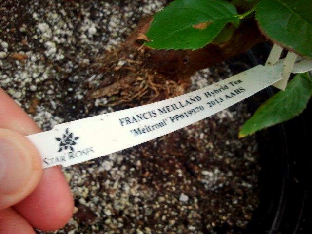 'Francis Meilland' Hybrid Tea - 2013 AARS Winner (1/4)