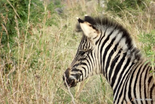 Zebra Foal at Hluhluwe Imfolozi Game Reserve
