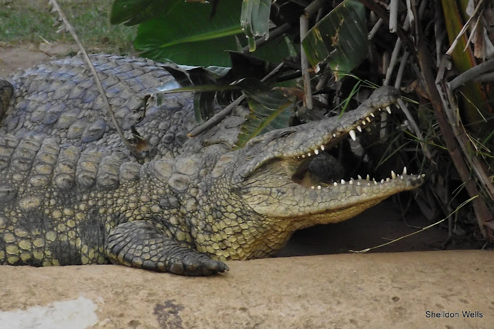 Nile Crocodile at Tala Game Reserve
