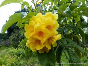 Flor del Chicalá, Humedal El Salitre