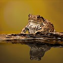 Highly commended - Common Toad_Carrie Eva.jpg