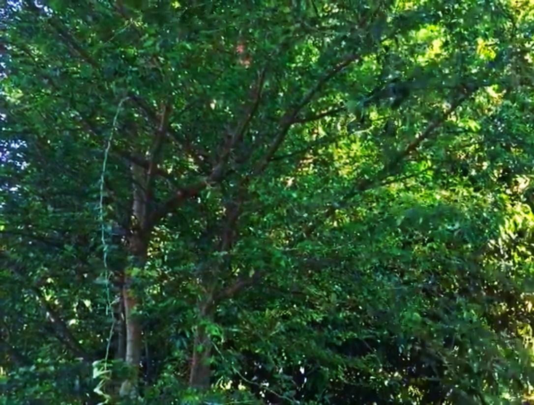 Manila tamarind benefit for health by plantsbhh.in
