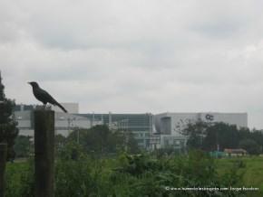 Mirla en el Humedal Salitre Greco, atras CC Gran Estación
