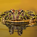 Advanced 1st - Argentinian ornate horned frog_Carrie Eva.jpg