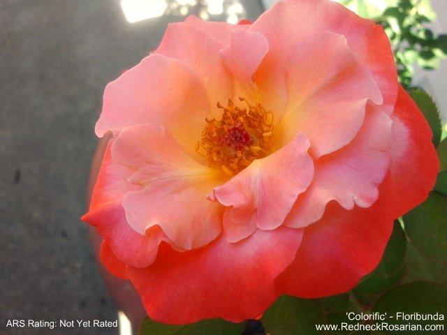 New Rose In My Garden - 'Colorific' Floribunda  (2/2)
