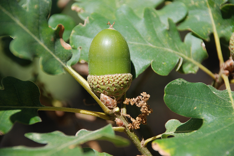 Quercus vulcanica.jpg