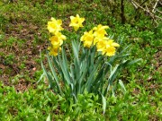 Daffodils in Dovedale