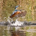 Advanced 1st - Kingfisher_Carrie Eva.jpg