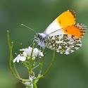 1st - Orange Tip_Martin Patten.jpg