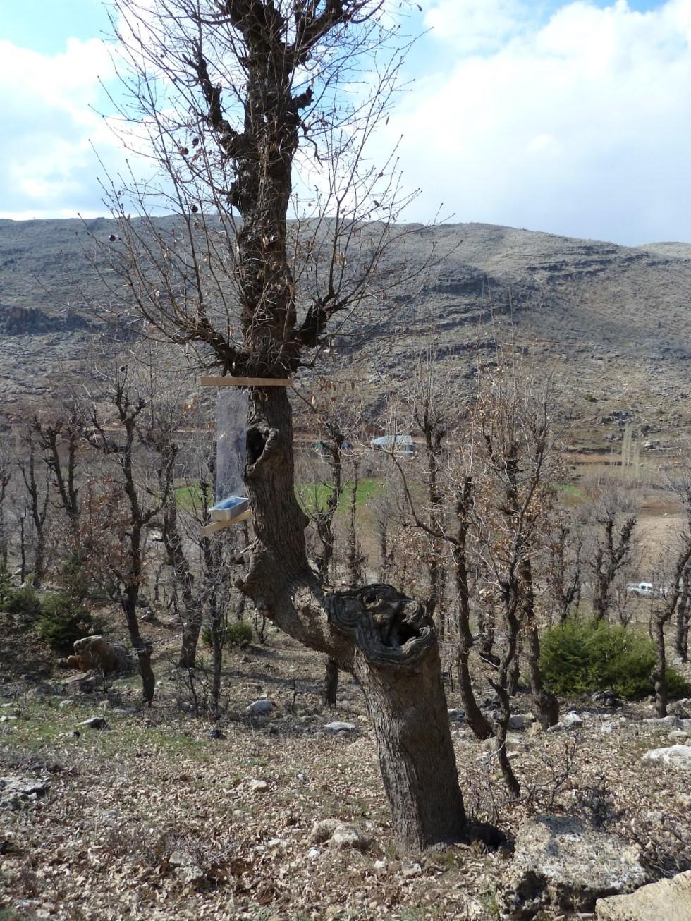 An Oak with traps in Adiyaman.jpg