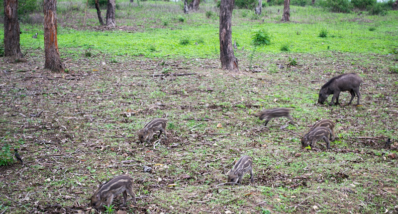 wild boars in bandipur forest