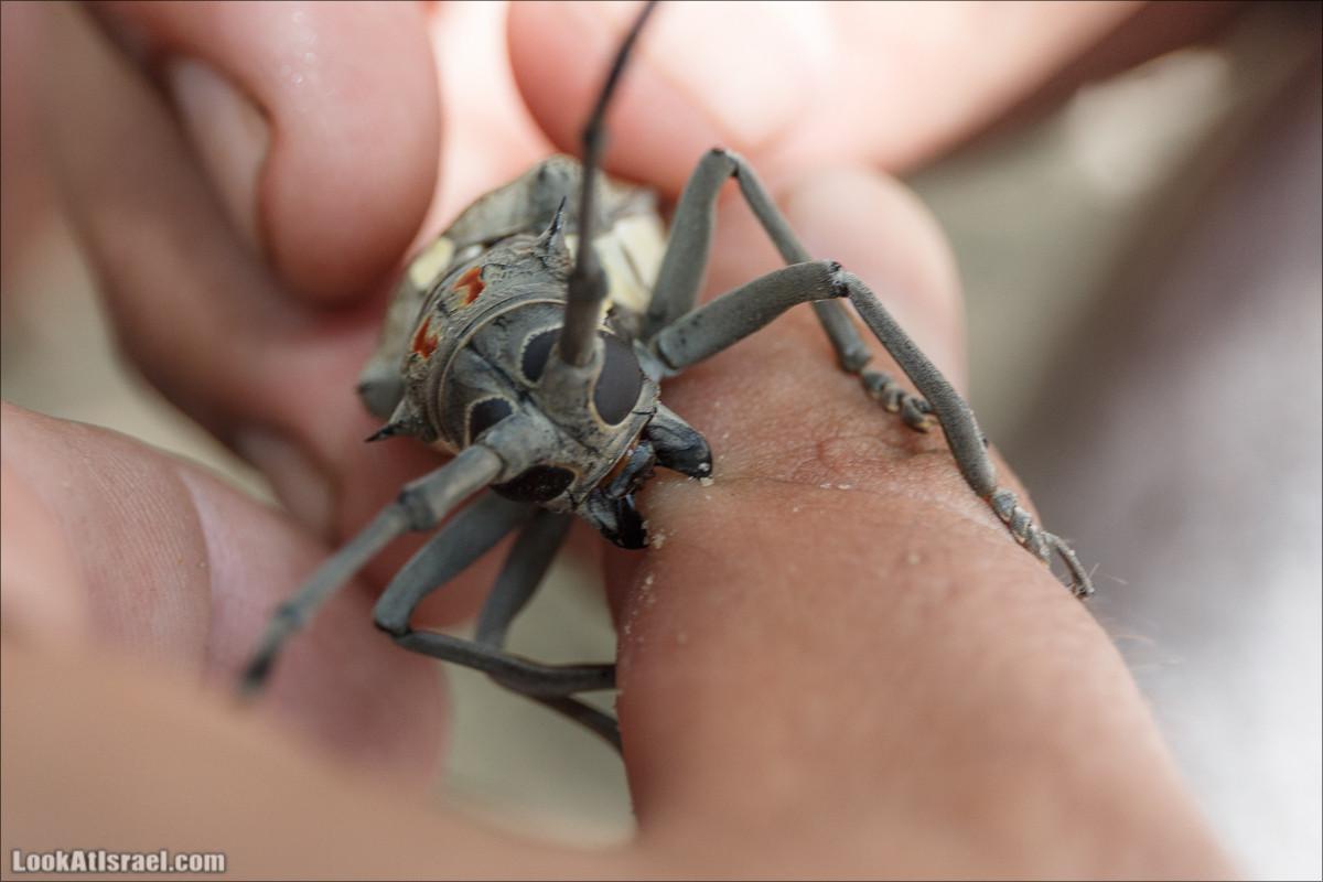 Финиковый дровосек жук - усач | Batocera rufomaculata | יקרונית התאנה | LookAtIsrael.com - Фото путешествия по Израилю