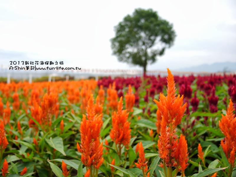 這種花卉叫什麼嗎?-2013新社花海節