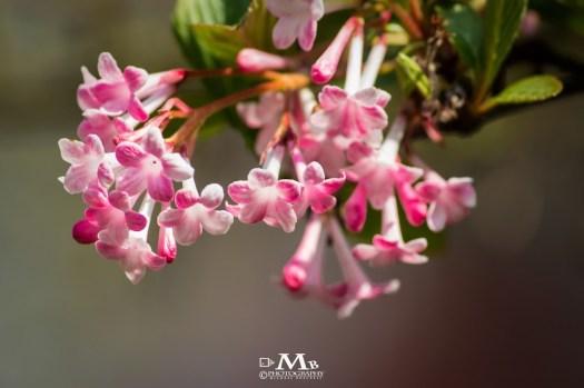 Pink Tree Blossom 20140325 Michael Boeckels
