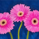 Set Subject 2nd - Pink Gerberas_J Nutkins.jpg