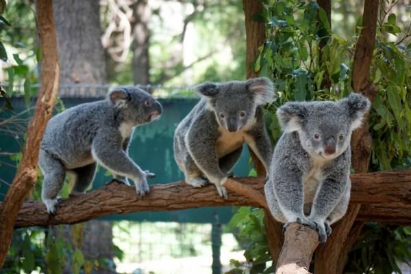 Koala bear smile