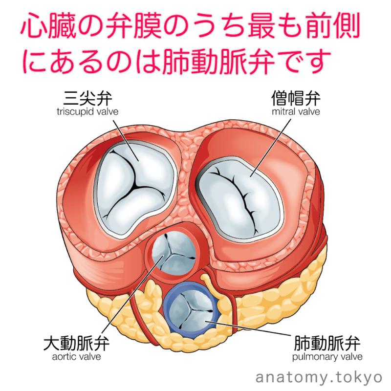 t222-17心臓の弁膜のうち、最も前側にあるのは肺動脈弁である.png