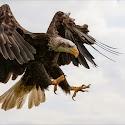 Advanced 1st - Eagle_ Carrie Eva.jpg