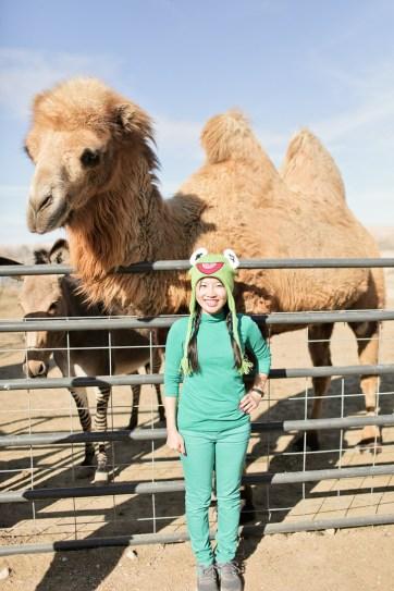 Bactrian Camels at Roos n More Las Vegas.