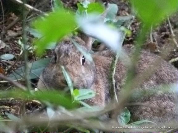 Conejo del Humedal La Conejera