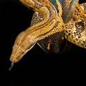 Highly commended - Anaconda_PeterXerri.jpg