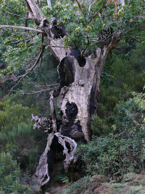 Castaños centenarios árboles