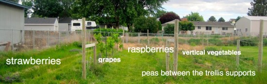 growing grapes, raspberries, strawberries