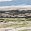 Intermediate 2nd - Dunlin on the Dee estuary_Peter Xerri.jpg