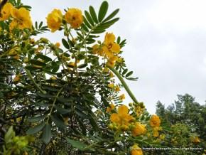 Flor y hoja de Alcaparro