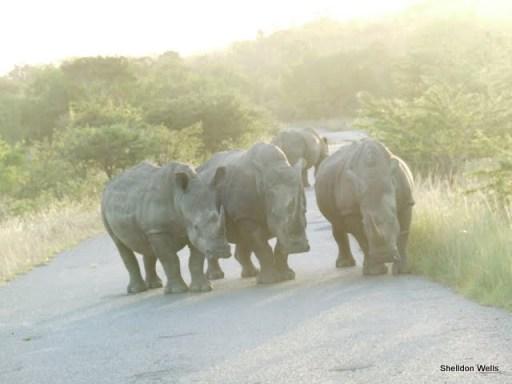 Crash of Rhino at Hluhluwe Imfolozi Game Reserve