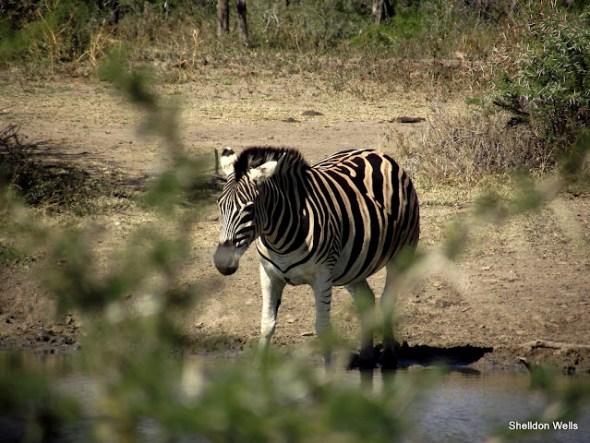 Plains Zebra