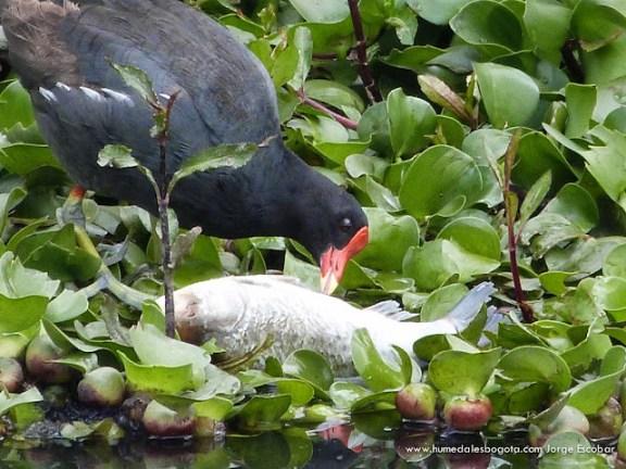 Tingua pico roja comiendo peces
