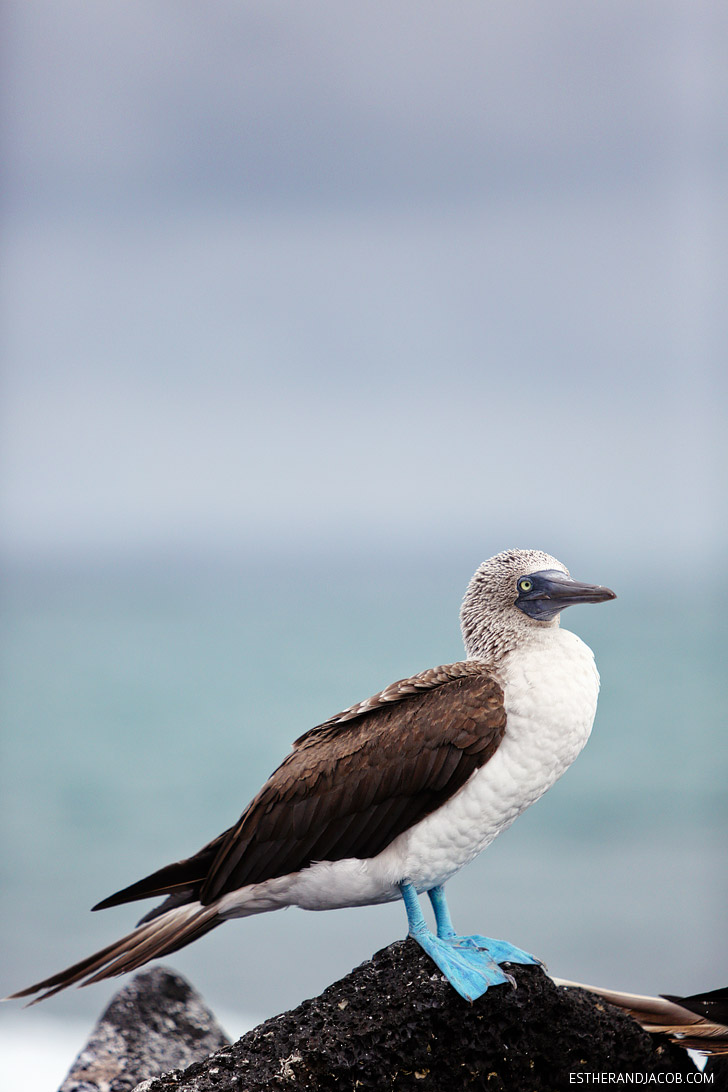 The Blue Footed Booby bird in the Wetlands Isabela Island | Galapagos Birds.