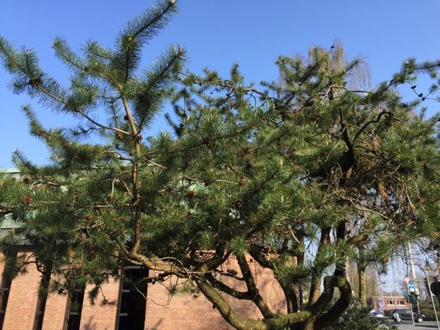 ブーアーの松の木