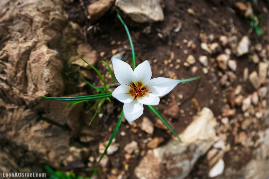 Зима в Израиле - цветут крокусы