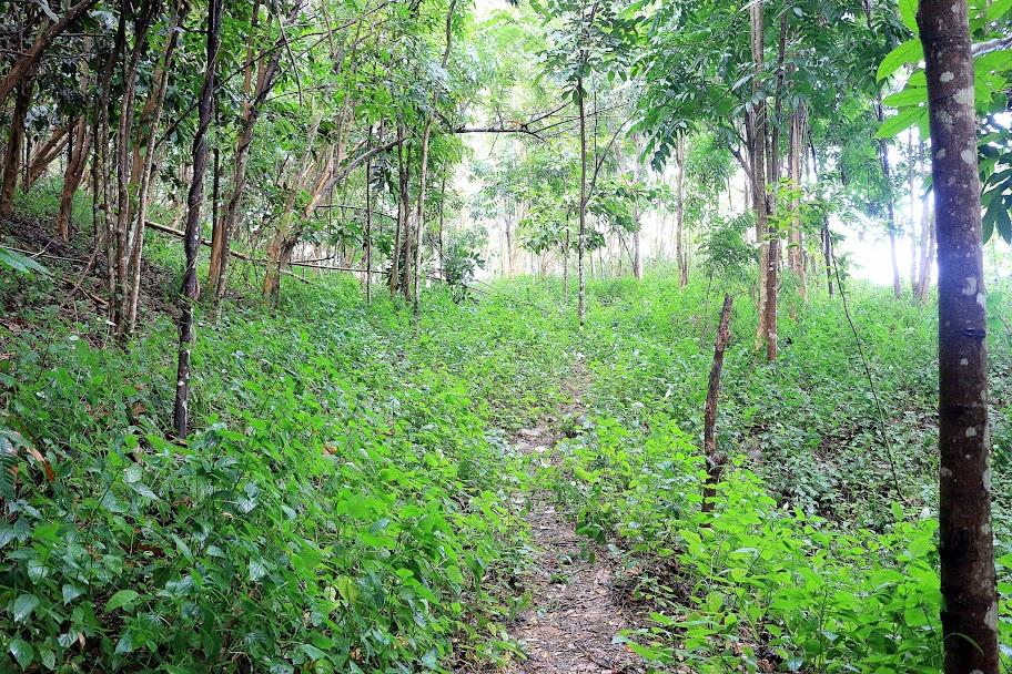 Sebagian pohon yang mulai di tanamn tahun 2000 di Kebun Raya Minahasa